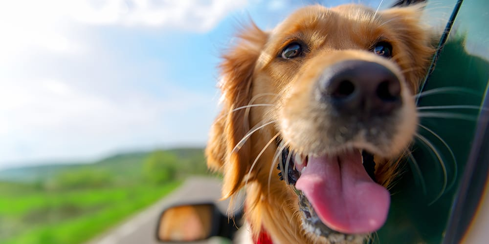 never leave a dog in a car - summer driving tips